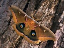 Polyphemusmot - Antheraea-polyphemus, mooie grote Amerikaanse mot zit op de schors royalty-vrije stock foto's