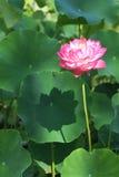 Polyphyll lotus Stock Photo