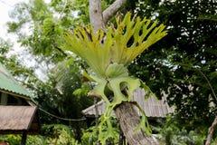 Polypodiaceae Royalty Free Stock Image