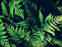 Polypodium Royalty Free Stock Photos