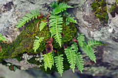 Polypodium vulgare- top view Stock Photography