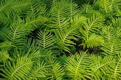 Polypodiumcambricum, den sydliga polypodyen eller walesisk polypody Arkivbilder
