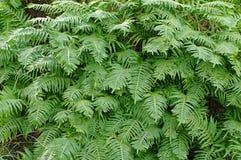 Polypodiumcambricum, den sydliga polypodyen eller walesisk polypody Fotografering för Bildbyråer