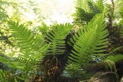 Polypody утеса, virginianum Polypodium, с спорангиями, Sunapee, Стоковое Изображение