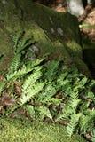 Polypody comum Foto de Stock