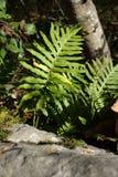Polypody comum, vulgare do Polypodium Imagens de Stock Royalty Free
