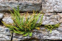 Polypody comune ad una parete drystone immagini stock libere da diritti