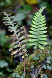 Polypody (Polypodium vulgare) Stock Photo