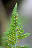 Polypody (Polypodium vulgare) showing spores on underside Royalty Free Stock Images