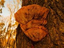 Polypore гриба на дереве Стоковое Изображение RF