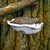 Polypore Or Bracket Fungus Royalty Free Stock Image