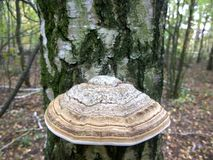 Polypore de Brown Foto de Stock Royalty Free