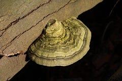 Polypore del abedul, betulinus de Piptoporus, creciendo en un tronco de árbol en bosque Imagen de archivo libre de regalías