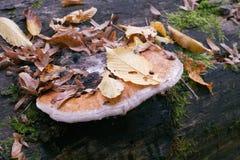 Polypore fungi in autumn stock images