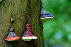 Polypore, fungo polyporous (pinicola de Fomitopsis) Imagens de Stock