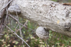 Polypore fungus. On a log, in the forrest Royalty Free Stock Photo