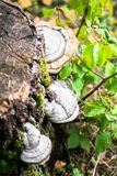 Polypore funguses on an old stump. Stock Photo