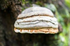 Polypore Funguses On An Old Stump. Stock Image
