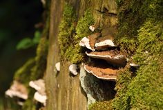Polypore with a green moss Royalty Free Stock Photo