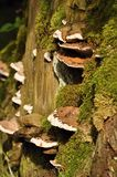 Polypore with a green moss Royalty Free Stock Photos