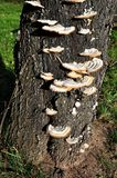 Polypore growing on a tree Stock Images