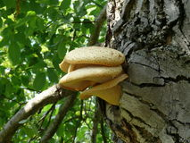 Polypore. Massive mushroom growing from ancient tree Stock Image