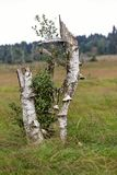 Polypore mushroom, fungi death trees High Fens Royalty Free Stock Image
