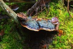 Polypore mushroom Stock Image