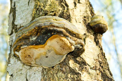 Polypore mushroom Royalty Free Stock Photos