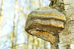 Polypore mushroom Royalty Free Stock Images