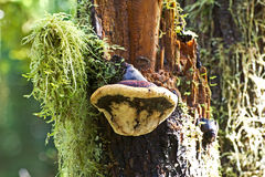 Polypore Mushroom on Tree Royalty Free Stock Photography
