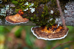 Polypore Mushrooms Royalty Free Stock Photos