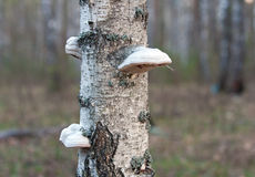 Polypore mushrooms Stock Image