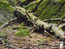 Polypore mushrooms on a old trunk in the forest stock photography