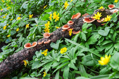 Polypore mushrooms among spring flowers Royalty Free Stock Photos