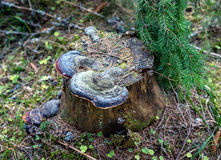 Polypore mushrooms on stump Royalty Free Stock Photos