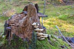 Polypore mushrooms a tree stump Stock Photo