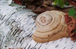 Polypore på det vita trädet Royaltyfri Fotografi