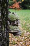 Polypore på trädet Royaltyfria Bilder