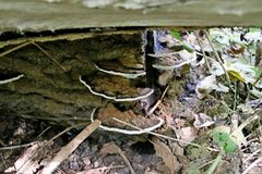 Polypore-Pilz in den schollenbos in Capelle aan den Ijssel in den Niederlanden stockfotografie