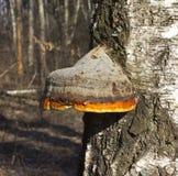 Polypore real (de hojas caducas) Foto de archivo