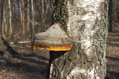 Polypore real (deciduous) Stock Photo
