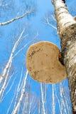Polypore su un albero di betulla Fotografia Stock