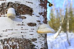 Polypore tubes are a honey-comb-like structure, where the individual tubes have fused together stock photo