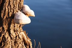 Polypore Stock Photography