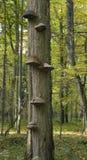 Polypores che cresce su un albero del hornbeam fotografia stock