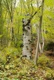 Polypores croissants d'arbre Photographie stock libre de droits