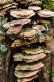 Polypores en colores verdes de oro conectó con el tronco de un tr Fotos de archivo