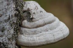 Polypores en tronco del abedul Foto de archivo
