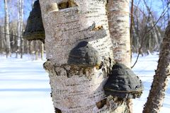 But some soil-inhabiting species form mycorrhiza with trees. Polypores are a group of fungi that form fruiting bodies with pores or tubes on the underside. They Stock Photos